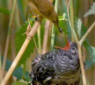 cuco aproveita os ninhos das outras aves para colocar o seu.