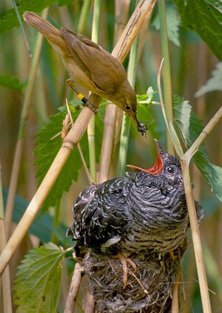 cuco aproveita os ninhos das outras aves para colocar o seu ovo