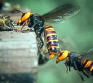 abelhas são atacadas por vespas