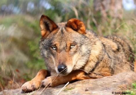 mais um lobo ibérico morto no Douro