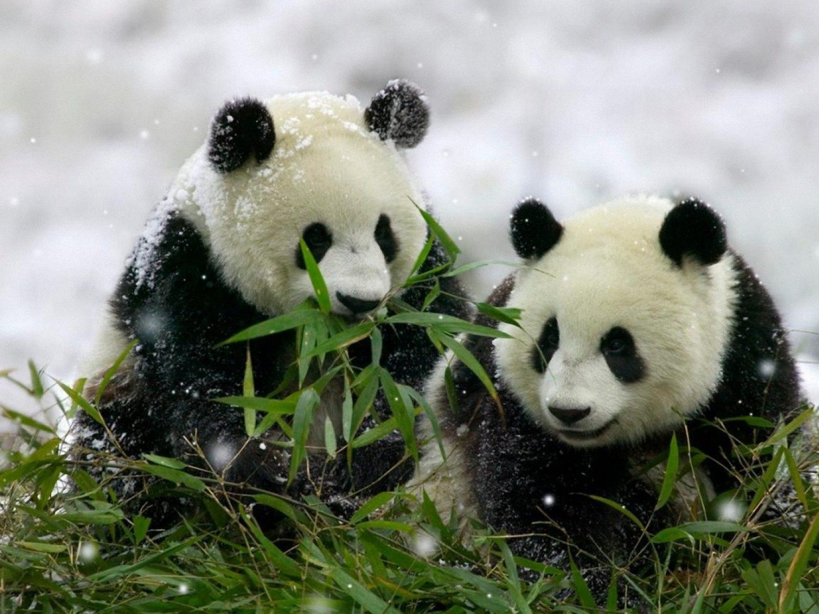 panda a comer bambu