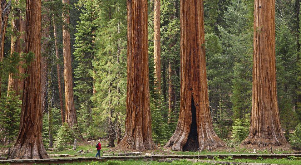 sequóias, turista, árvores maiores do planeta, Califórnia