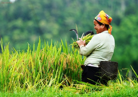 agricultura no Vietname