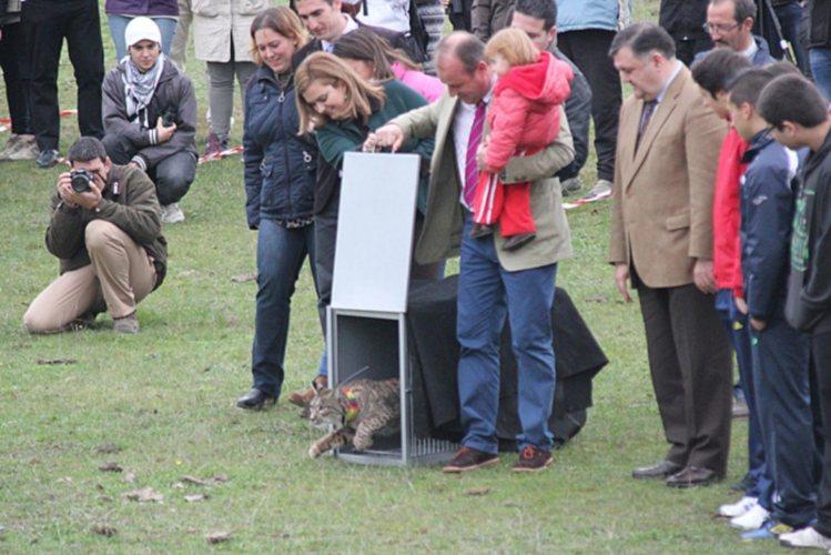 Lince ibérico é a espécie de felinos mais ameaçada no planeta