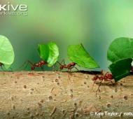 formigas constroem formigueiro com tamanho equivalente à muralha da China