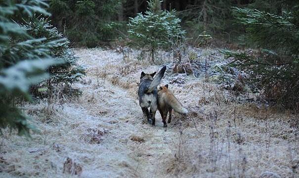 cão e raposa