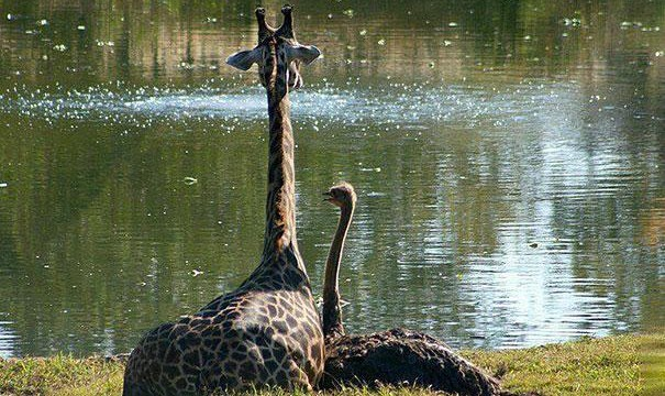 girafa e avestruz