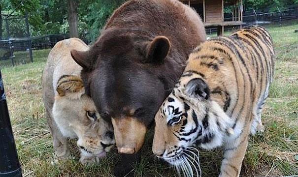 leoa urso e tigre