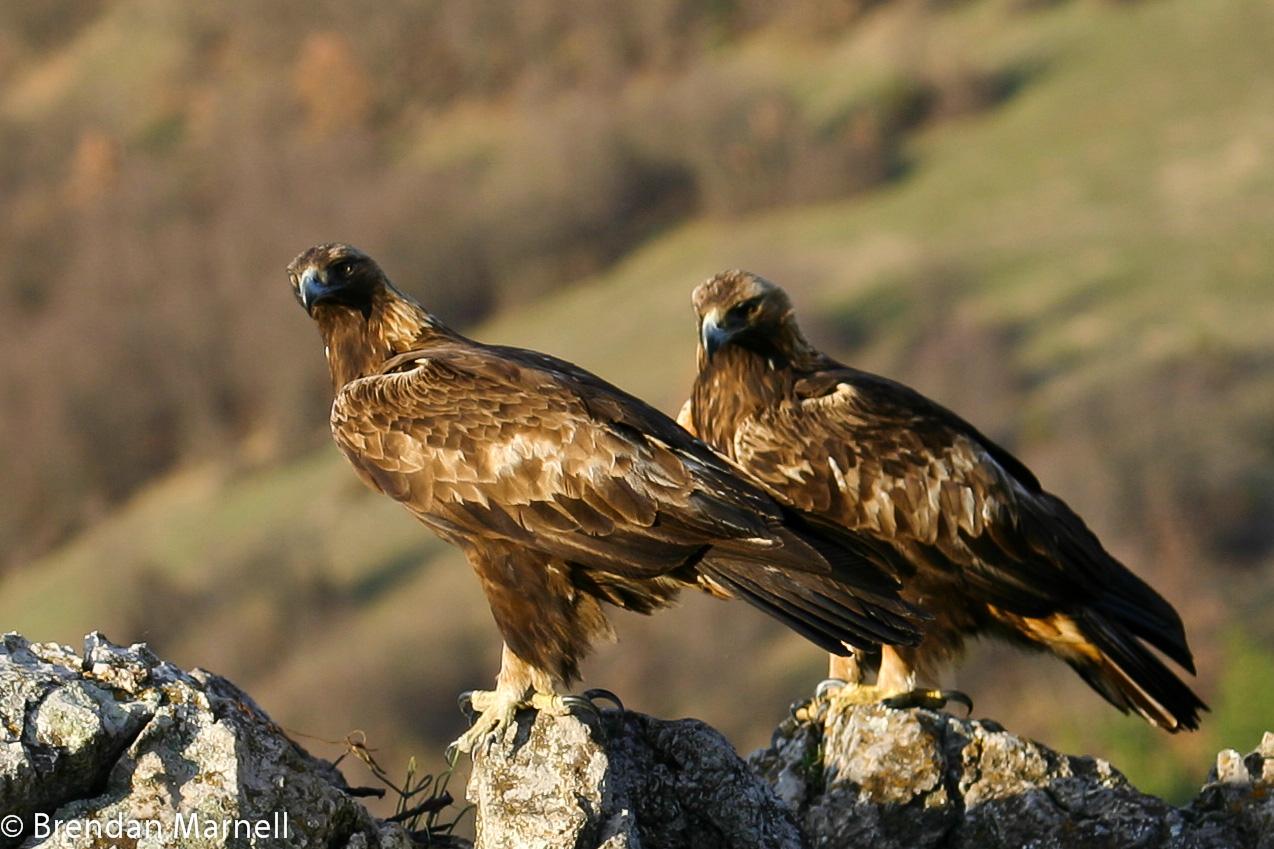 águia-real acasala com o mesmo parceiro para a vida.