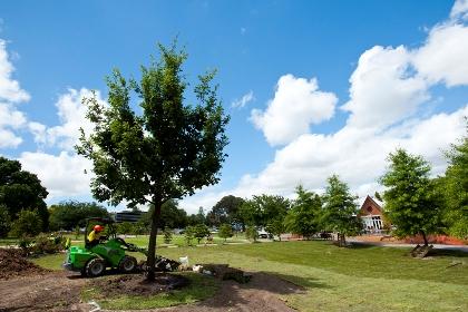 árvore-carvalho-replantação