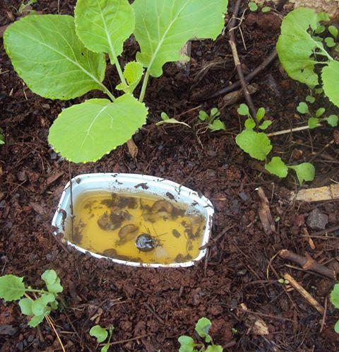 como acabar com os caracóis no quintal, no jardim ou na horta.