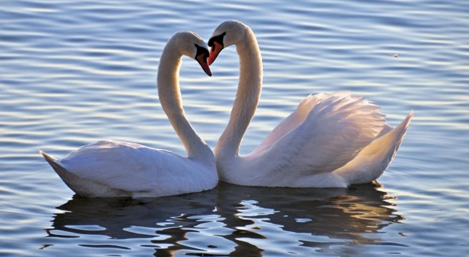 Os cisnes são um símbolo de amor.