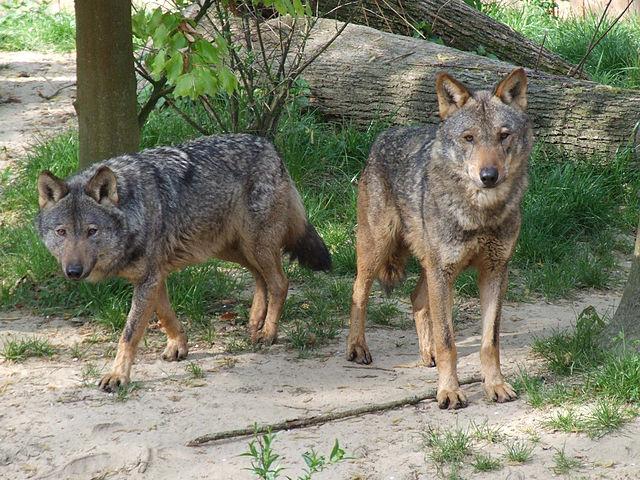 lobo ibérico acasala com o mesmo parceiro para a vida.