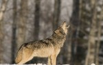 lobo yellowstone uivar