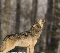lobo yellowstone uivar