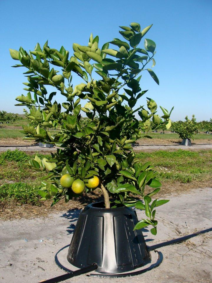 tree t-pee árvore citrinos água poupança agricultura