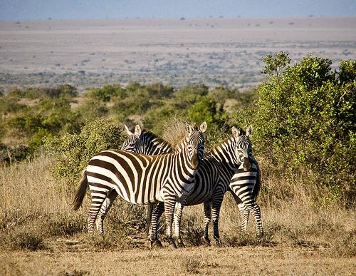zebras_kenya_laikipia-quenia