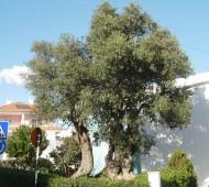 árvore-mais-antiga