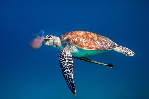 alforreca, medusa, mãe d'água