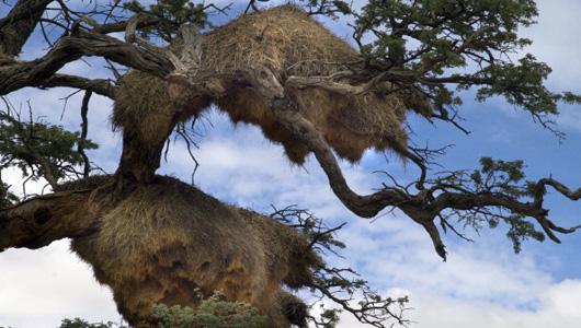 Ninhos tecelão sociáveis são os maiores construídos por qualquer ave e, muitas vezes parecer palheiros maciços em árvores.