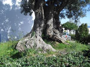 oliveira-antiga