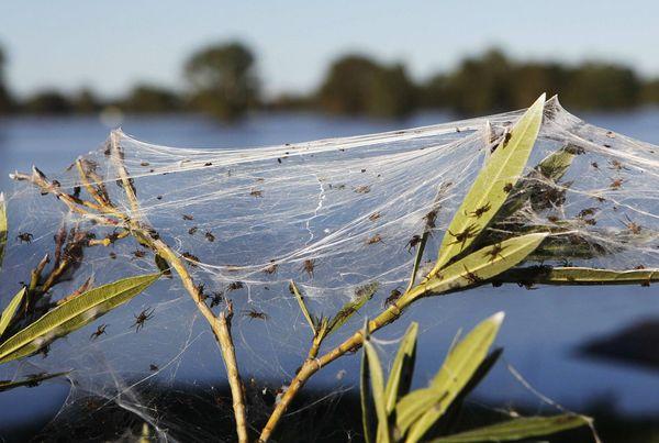 spider-webs-australia-floods-plant Daniel Munoz, Reuters
