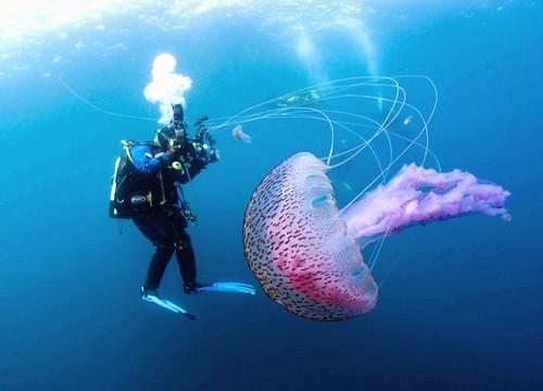 Pelagia noctiluca alforreca medusa mãe d'água