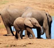 elefante africano bebé mãe água
