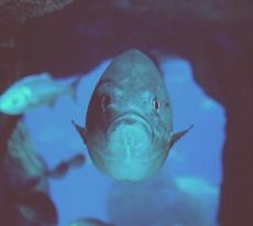 Cherne peixe