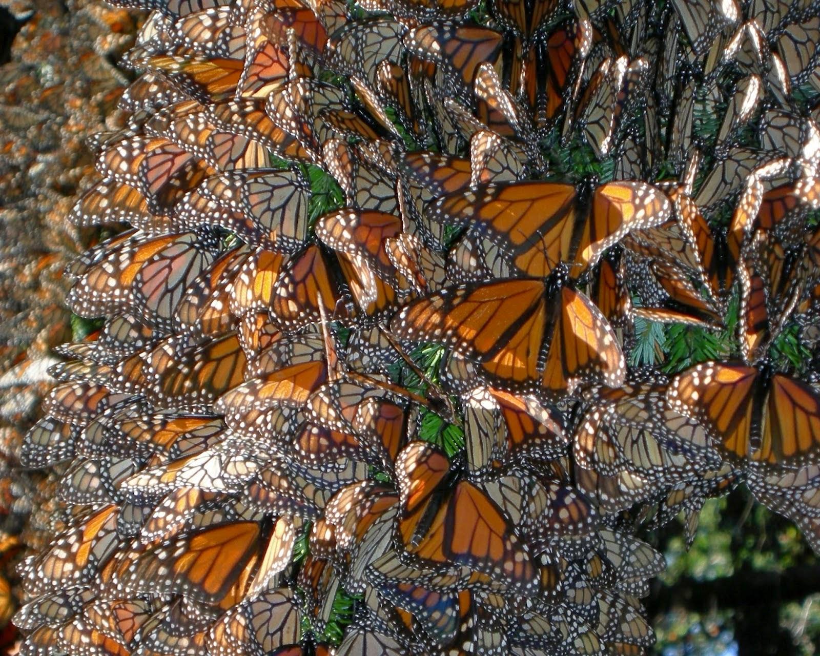 Borboletas monarca migração