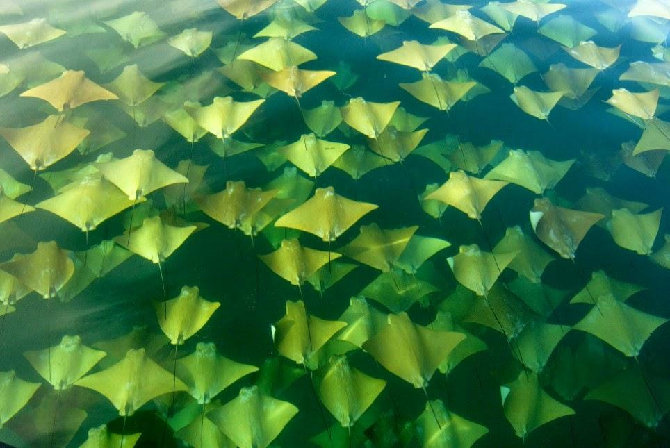 Raias migração oceano