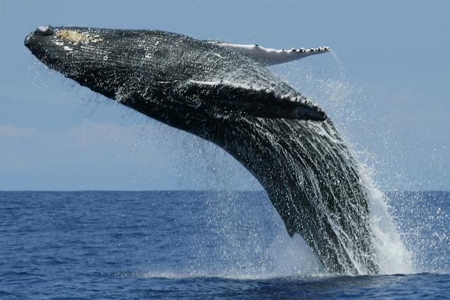 Whale watching baleia mar salto migração