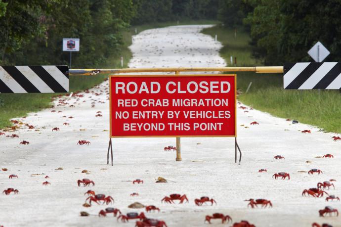caranguejos-estrada-fechada-austrália