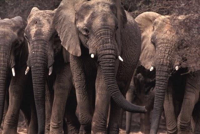 elefantes migração