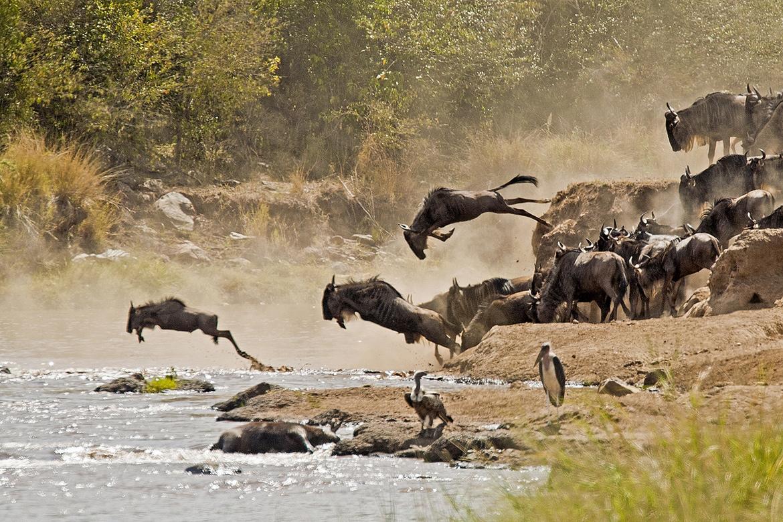 gnu migração rio Tim Allen