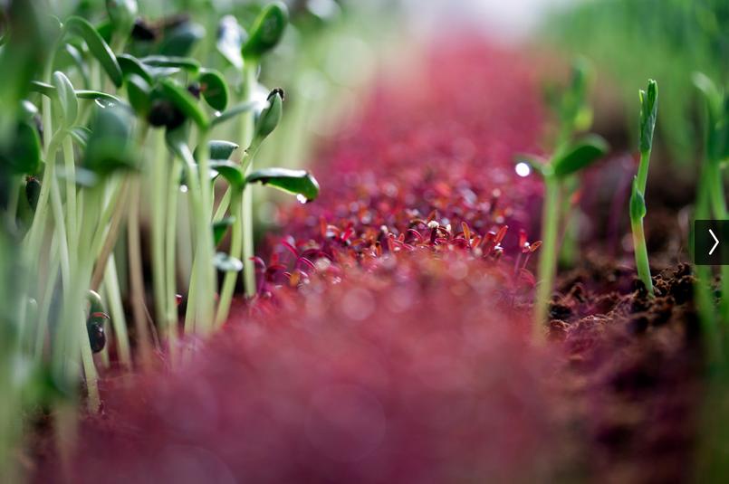infarm-microgreens-vegetais-micro-rebentos