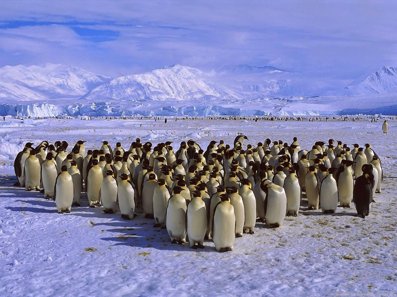 penguin-imperador migração gelo