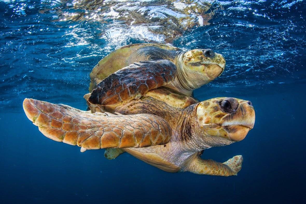 tartaruga marinha migração