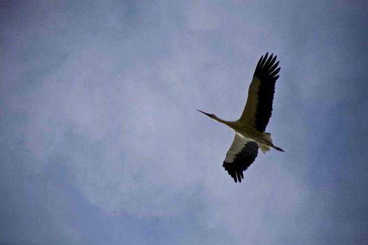 cegonha branca voar ceu ciconia ciconia