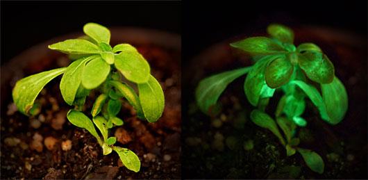 Bioglow planta brilha no escuro