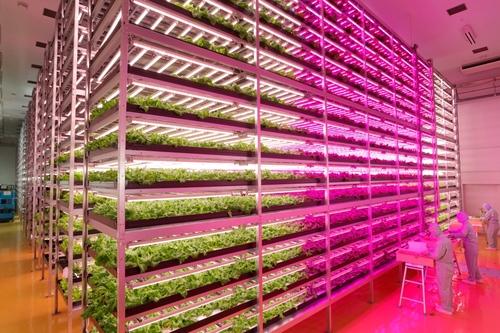 agricultura vertical fábrica alfaces luzes LED