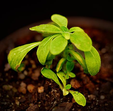 planta que brilha no escuro geneticamente modificada