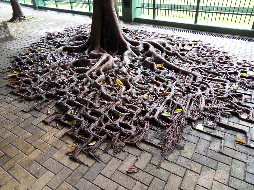 raízes árvore passeio