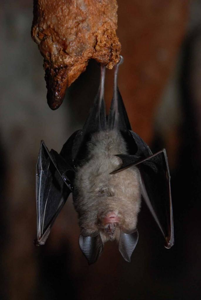Morcego-de-ferradura
