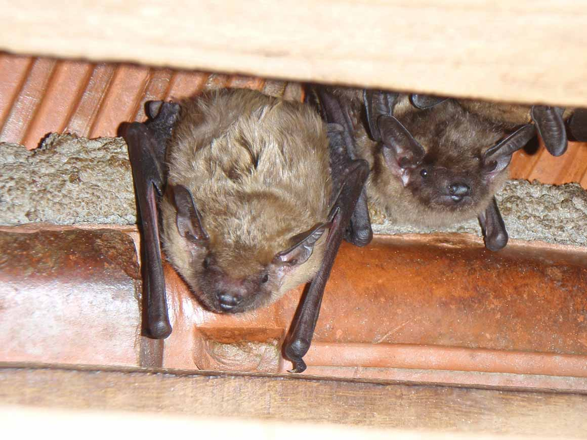morcegos na web