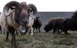 ovelhas relvados