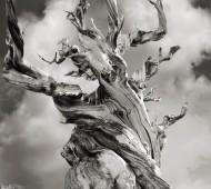 árvore mais antiga do mundo