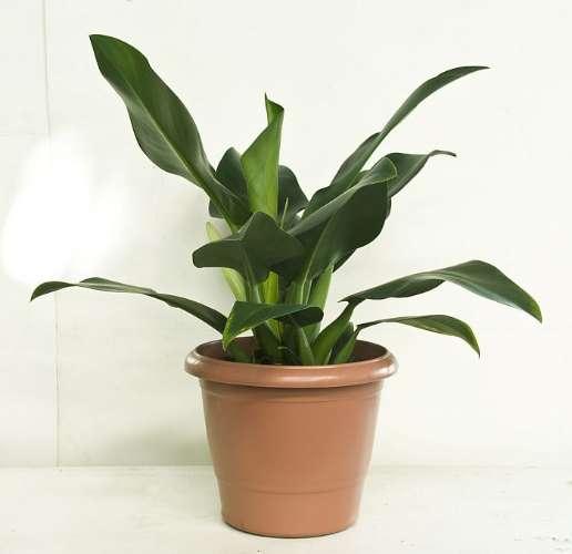 filodendro pacová plantas limpam o ar
