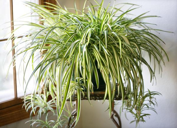 plantas que purificam o ar interior Planta-das-aranhas