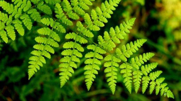 samambaia-plantas-que purificam